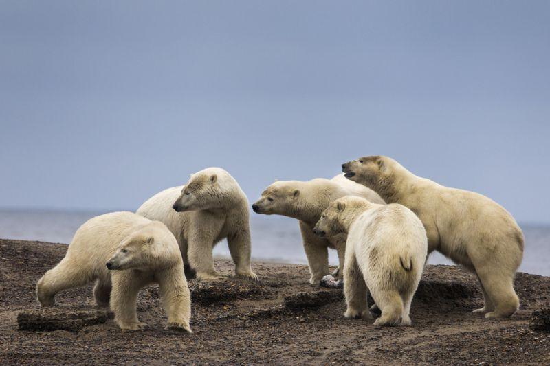 Из-за отсутствия пищи белые медведи селятся возле людей