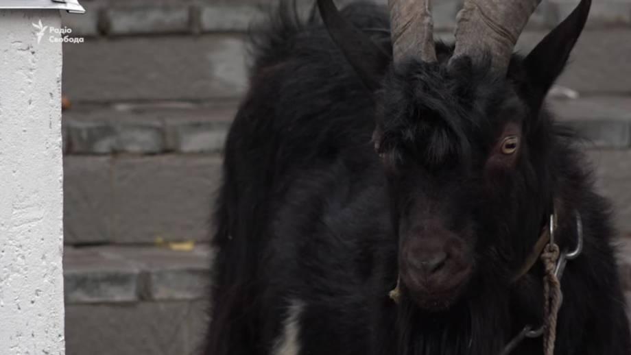 В посольство Чехии активисты привели козла (видео)