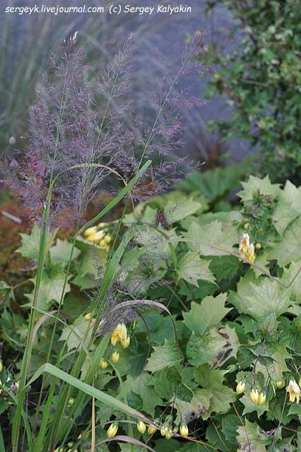 Calamagrostis brachytricha Mona (1).JPG