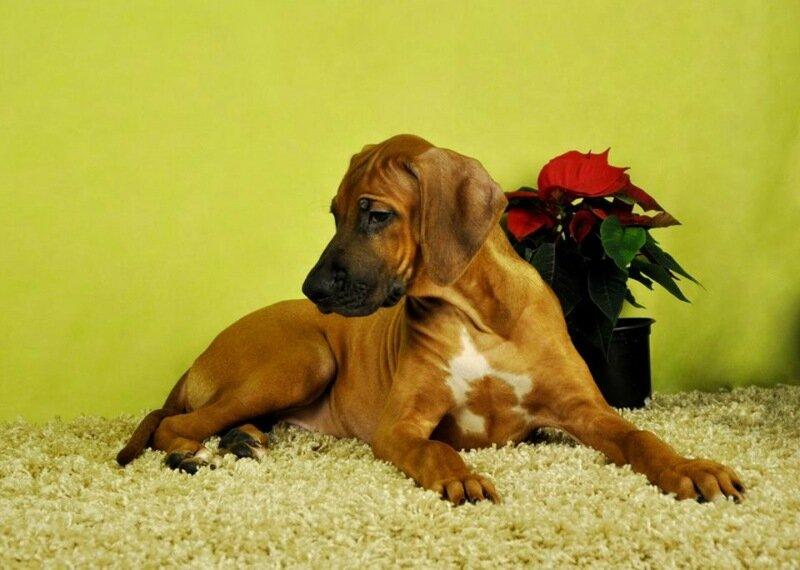 Риджбек родезийский щенки купить в Москве