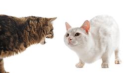 Агрессия между кошками в одном доме фото