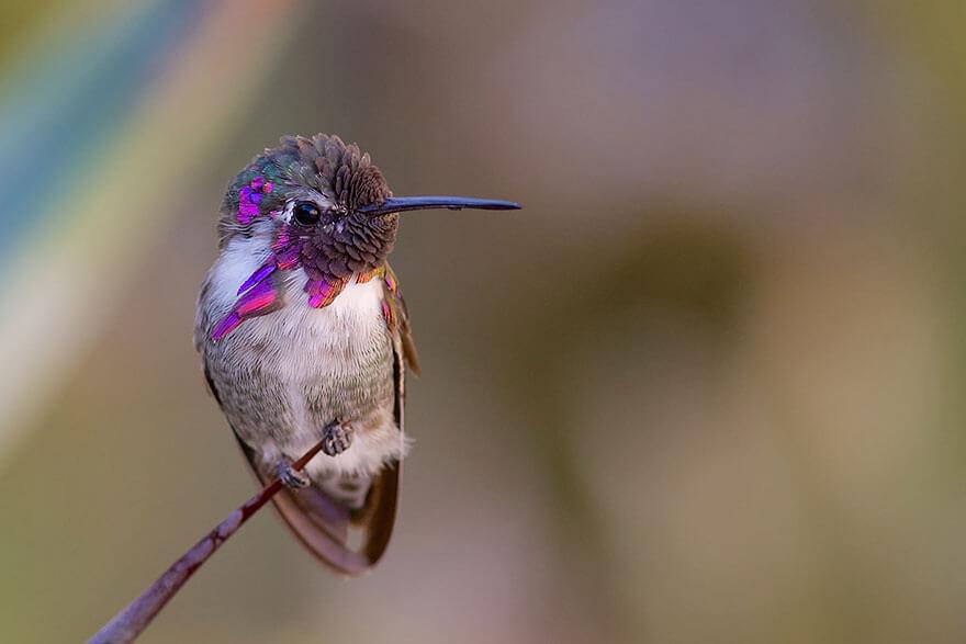 Яркие, как горстка самоцветов: самые красивые виды колибри