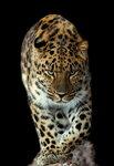 леопард 8954.JPG