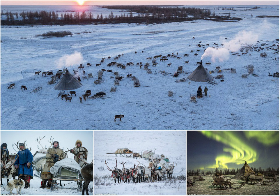 Annual migration of deer in the north of Russia