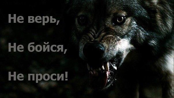 волки-9.jpg