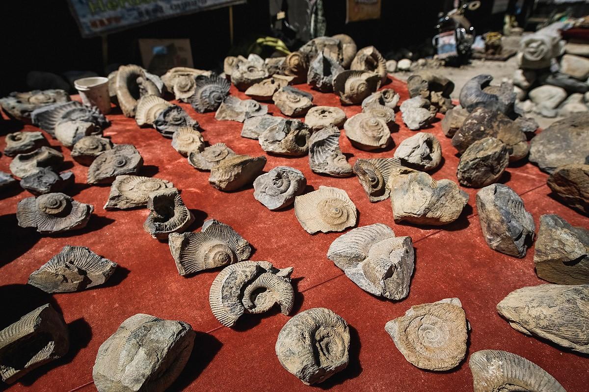 41. Поскольку Тибетское плато было когда-то дном океана, здесь находят вот такие окаменелости.