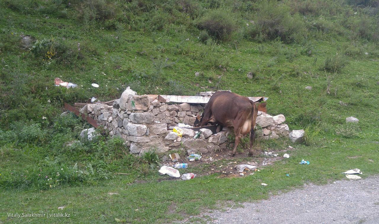 Корова в Алма-Арасане.
