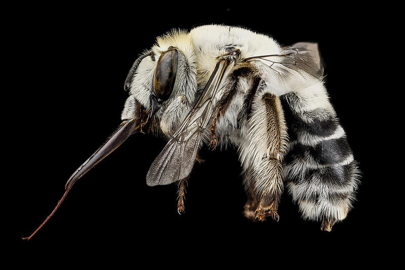 Courtesy Sam Droege / USGS Bee Inventory and Monitoring Lab