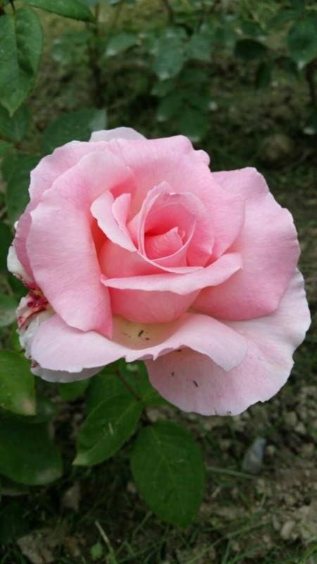 Роза из Сочи.
