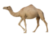 camel_PNG23421.png