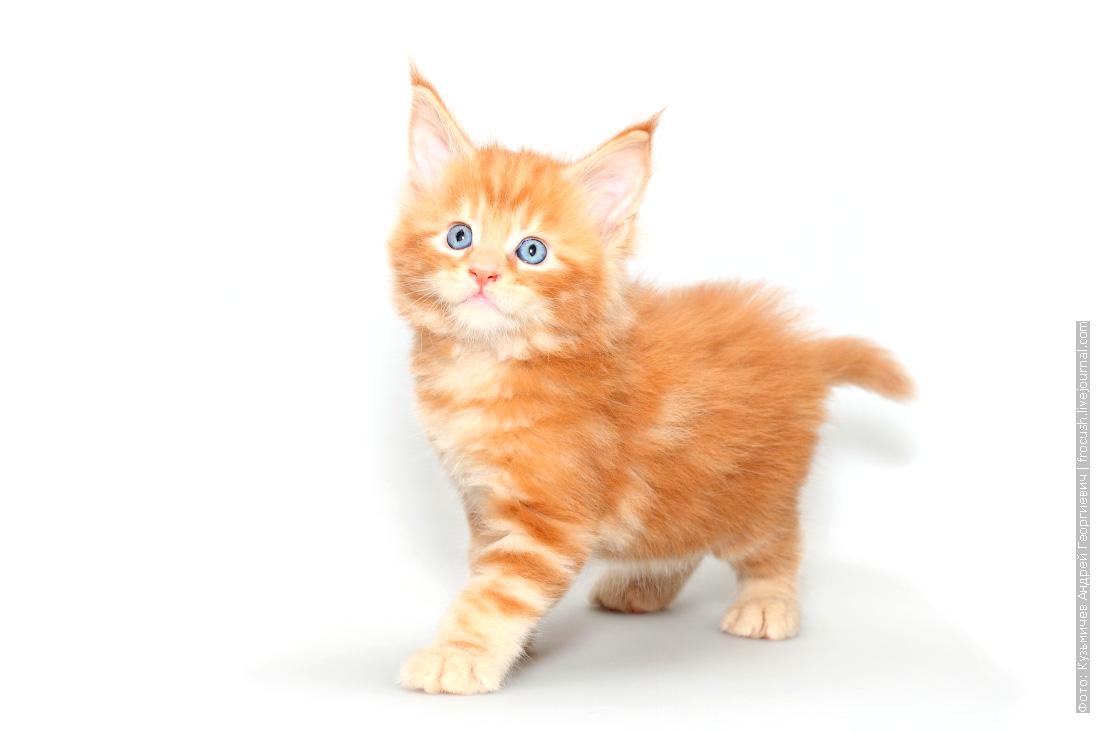 красный котенок мейн кун