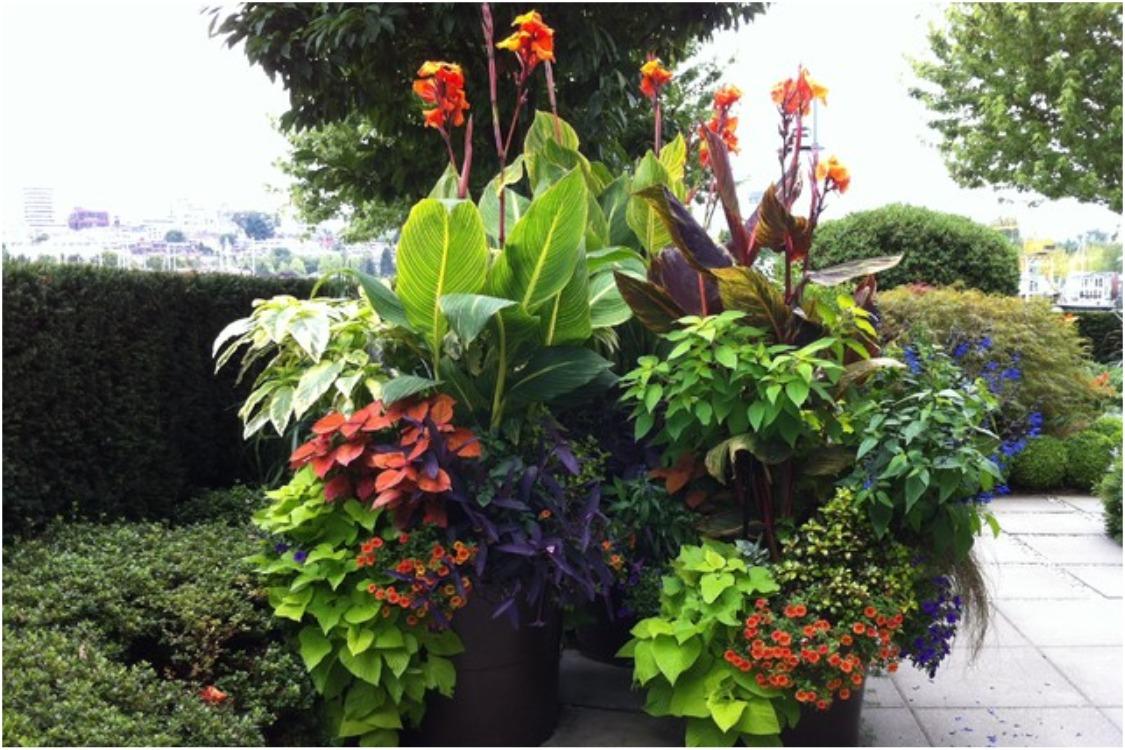 Канна - тропический цветок в нашем климате. Посадка канны и уход за ней