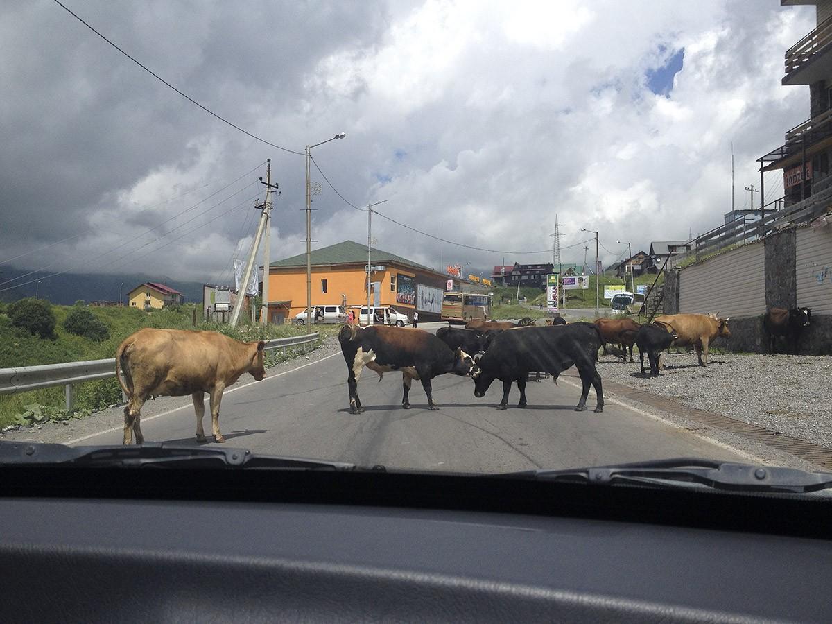 12. Коровы на дороге Другой нюанс — большое внимание к не местным, особенно к женщине. Тебя словно р