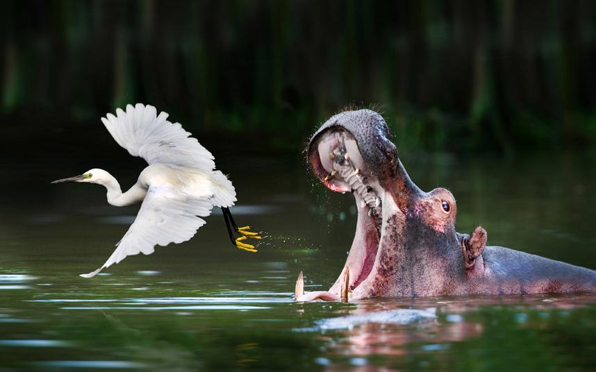 10. Схватка. Белохвостый орланы сражаются за добычу на лугу в Кутно, Польша. (Фото Mario Seve