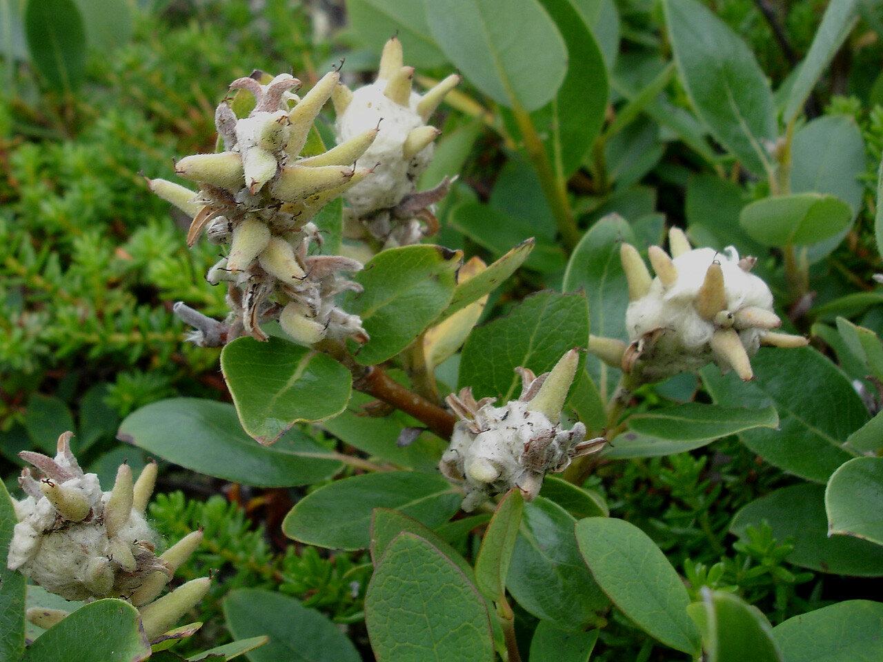 Ива арктическая (Salix arctica). Автор фото: Юрий Семенов