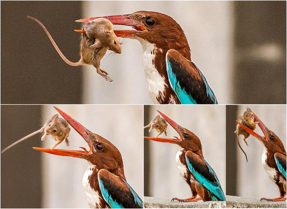 Зимородок кушает мышь