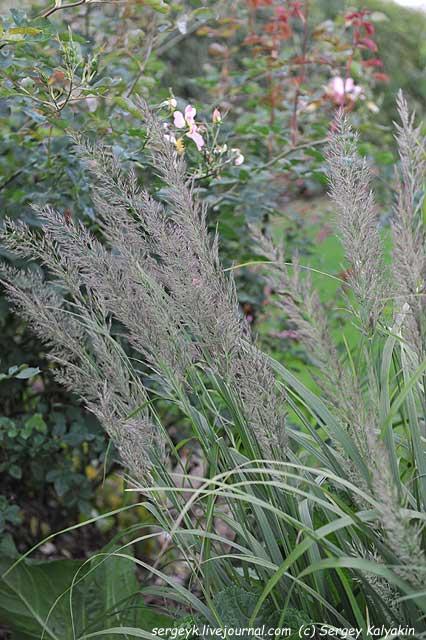 Calamagrostis brachytricha.JPG