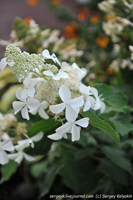 Hydrangea paniculata Butterfly (2).JPG