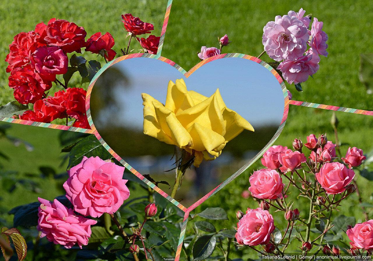 Осенние розы