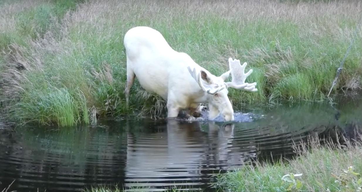 Шведский исследователь заснял крайне редкого белого лося, которого он искал три года (3 фото)