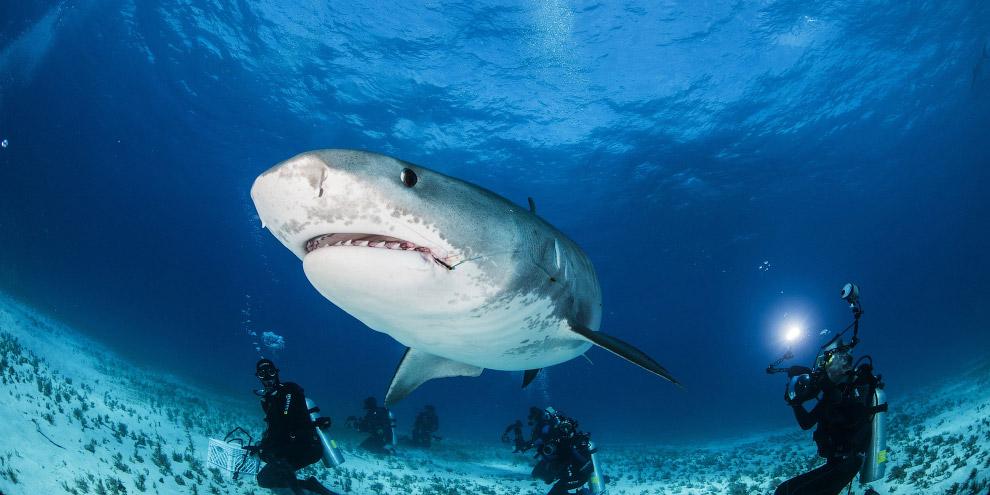 3. У тигровой акулы очень большой рот и характерные зубы. Каждый зуб имеет скошенную вершину