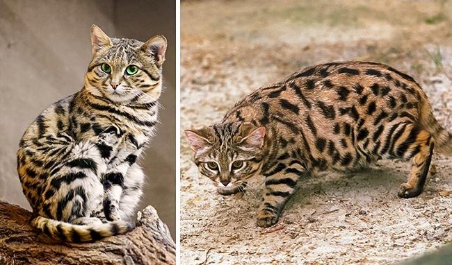 15великолепных диких котов, окоторых выпочти наверняка неслышали (19 фото)