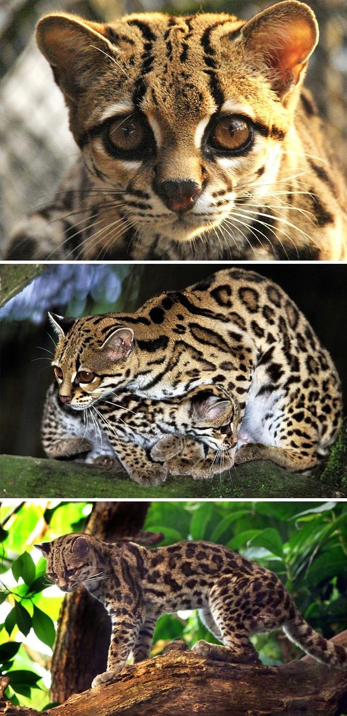 © Marcio Motta/flickr  © eastnews  © wikipedia     Соседка чилийской кошки по