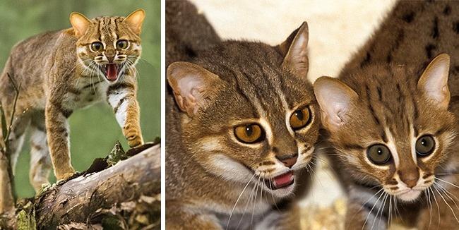 © eastnews  © eastnews     Ржавая кошка— одна изсамых маленьких представителей ко