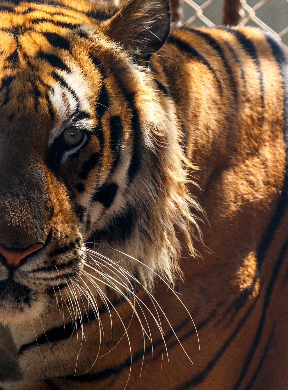 9. Жарко. Волонтер обливает тигра водой. (Фото Athit Perawongmetha):