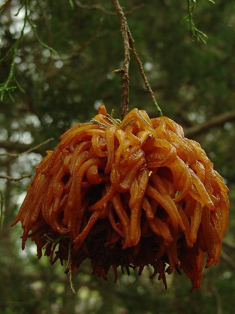 Этот нарост, похожий насотню желейных щупалец,— последствия влияния патогенного гриба. Онпоявляет