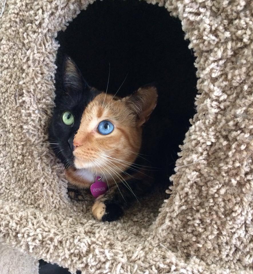 Венус: двуликая кошка-химера с разноцветными глазами
