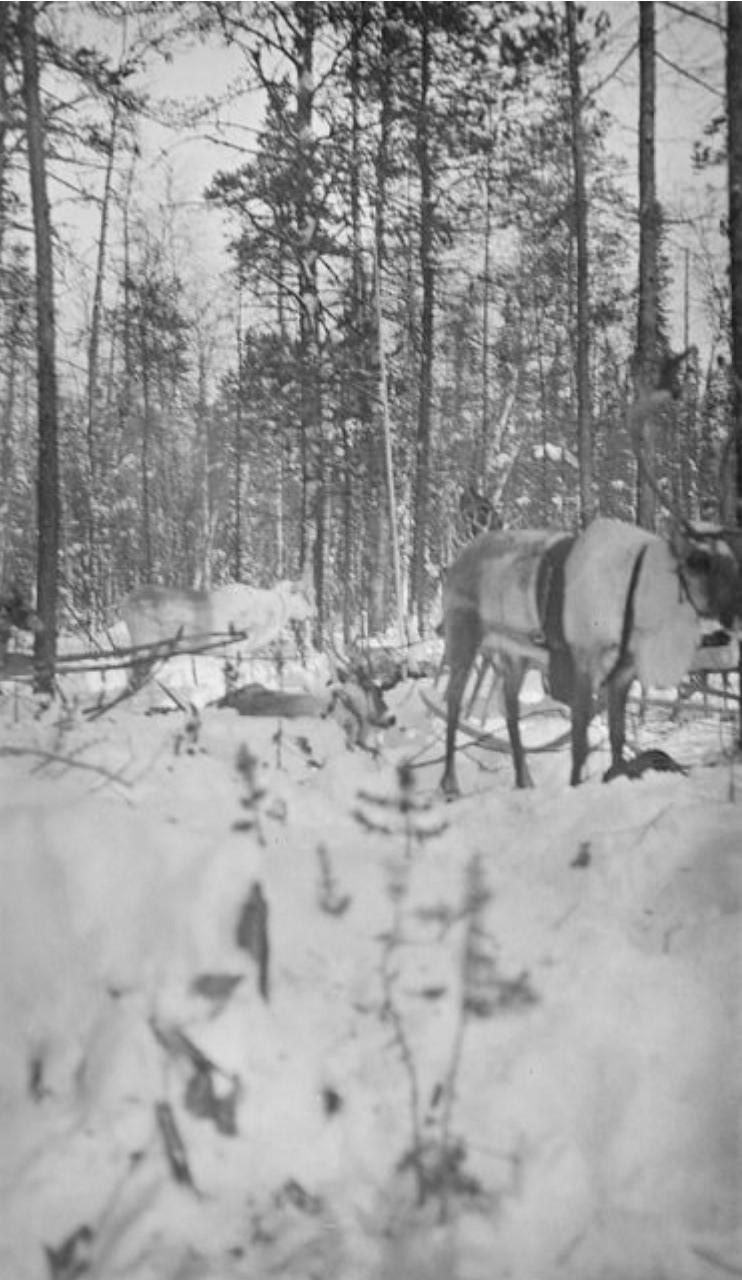 138. Запряженные олени в лесу, подготовка к отправлению