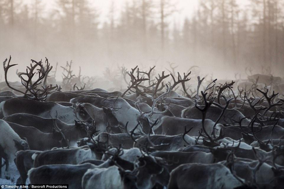 Ежегодная миграция оленей на севере России
