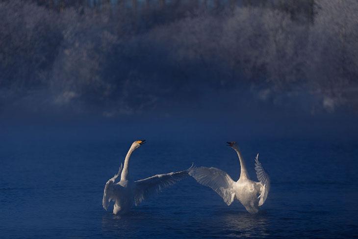 Лебединые истории (12 фото)