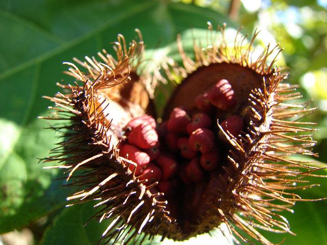 Раскрывшийся плод аннато похож начелюсть, вкоторую чудовище «заточило» семена. Интересно, что изэ