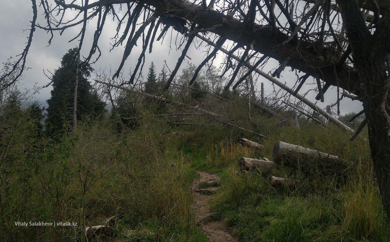 Поваленные деревья по дороге на Кок-Жайляу.