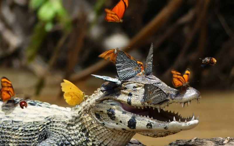 Иногда бабочки садятся на каймана и пьют его солёные слёзы.
