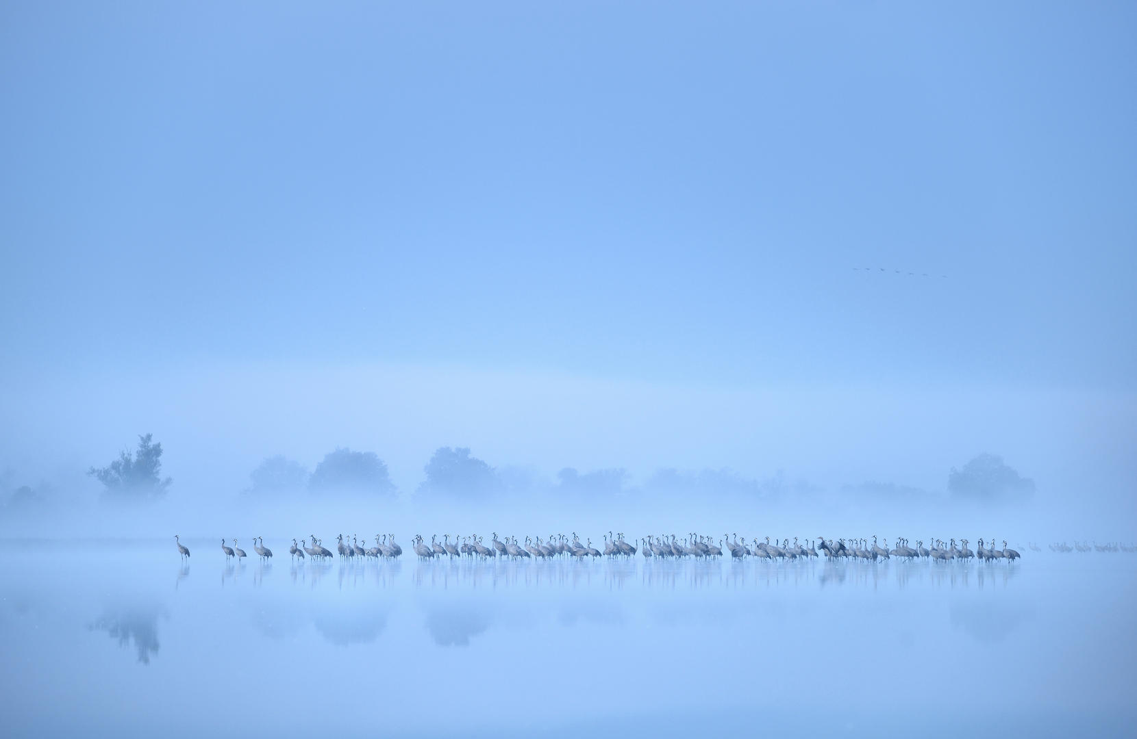 Birds in the Environment, silver. Crane flock misty lake by Piotr Chara.