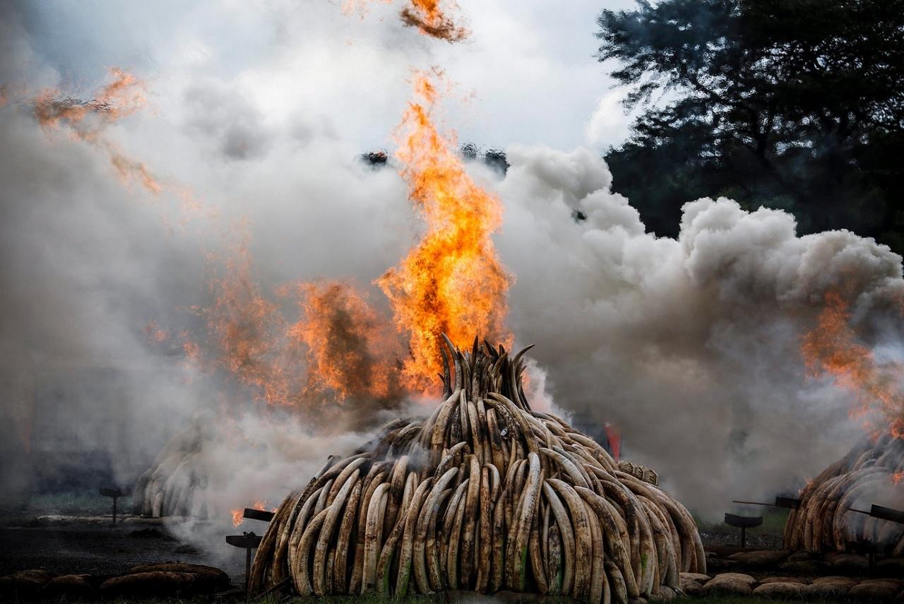 Нац.парк Найроби, Кения Горят 109 тонн бивней и 1,35 тонны рогов носорога. Фота_ Dai Kurokawa-EPA.