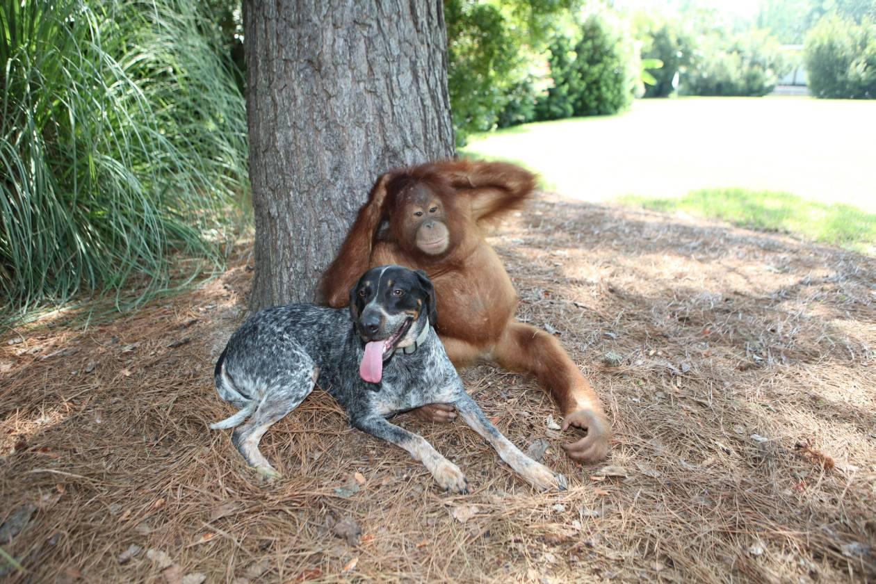 Орангутанг Суриа и бродячая собака Роско. Suryia and Roscoe (3)