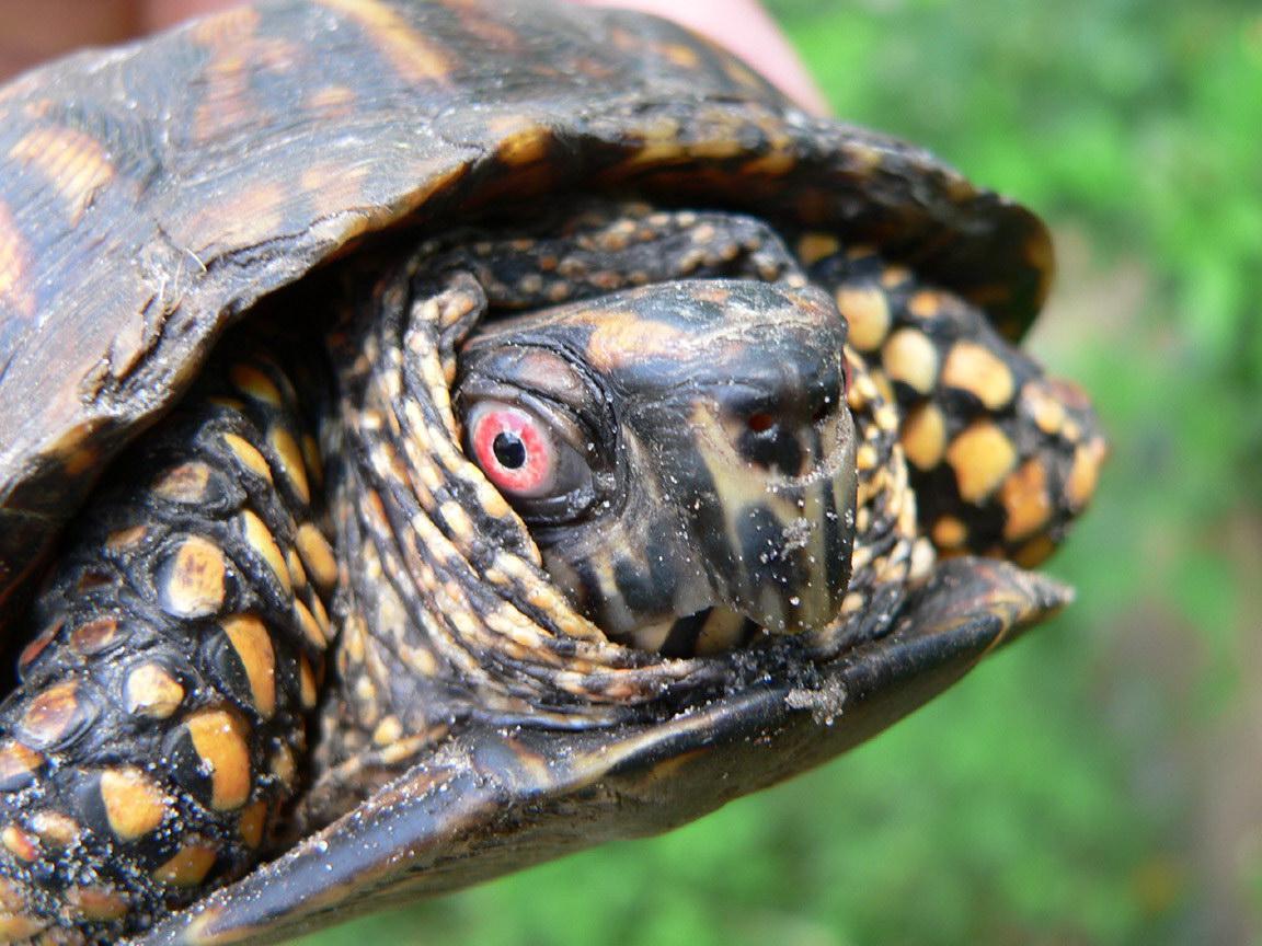 Підозріла черепаха
