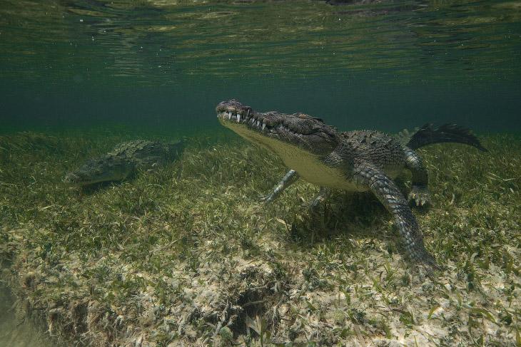 2. Настоящий динозавр. Из ныне живущих организмов ближайшие родственники крокодилов — птицы.
