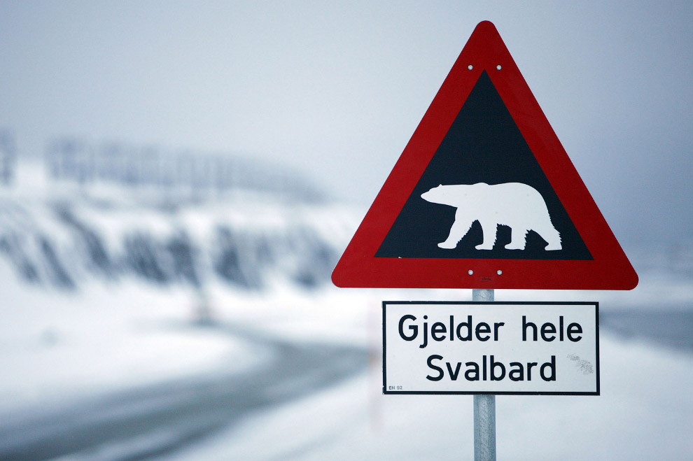 25. И опасность эта реальна. Правда, белые медведи предпочитают на ужин гренландских тюленей. (Фото