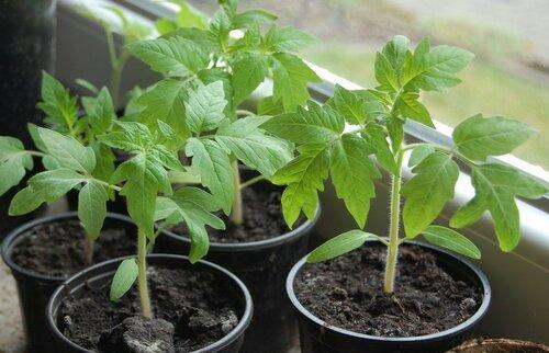 Как сделать помидорную рассаду, не выходя из дома