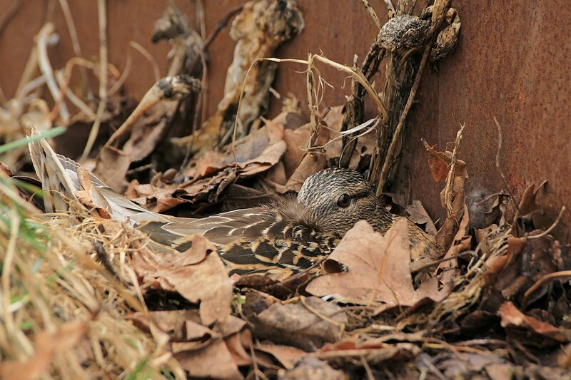 Дикая утка насиживает яйца на гнезде в компостной куче