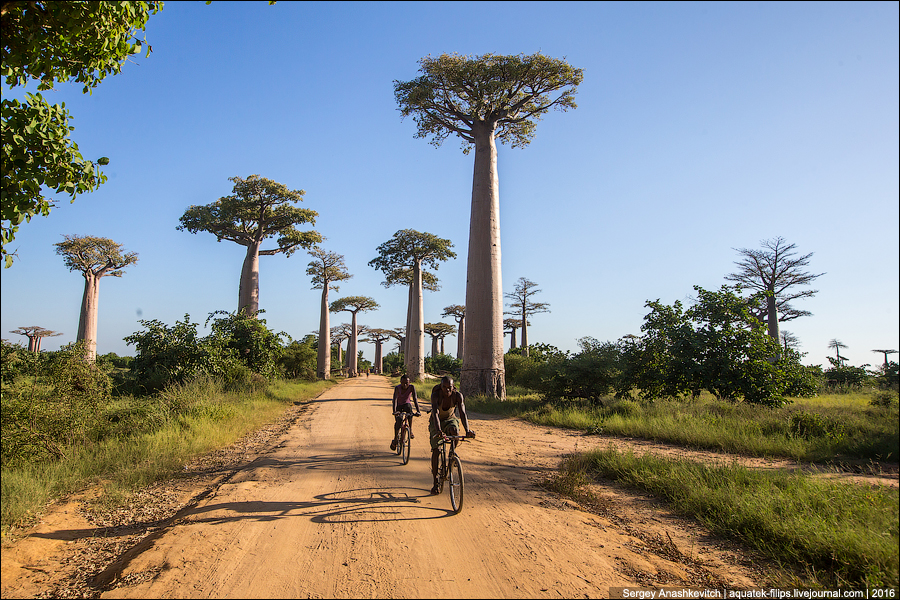 Avenue of the Baobab / Аллея Баобабов
