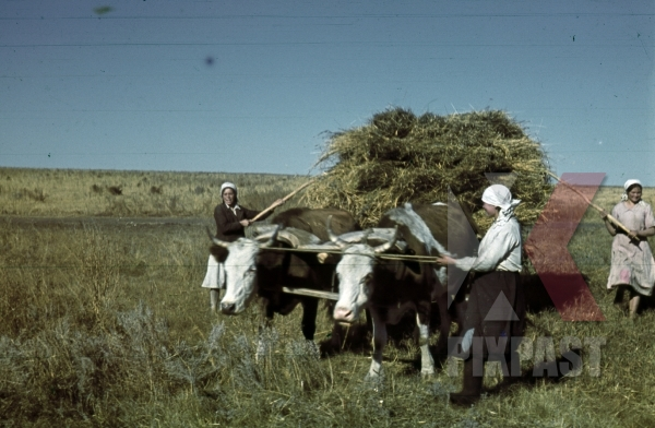 stock-photo-ukrainian-farmer-peasant-women-with-cows-wagon-collecting-fresh-hay-krim-kretsch-1942-22nd-panzer-division-12026.jpg