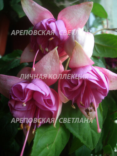 НОВИНКИ ФУКСИЙ. - Страница 5 0_1577b4_719b85a9_L