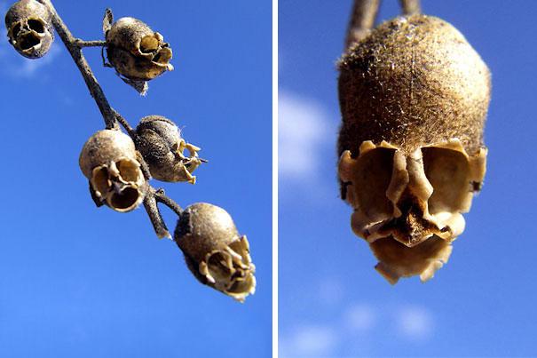 16. Скорлупа семени дракона