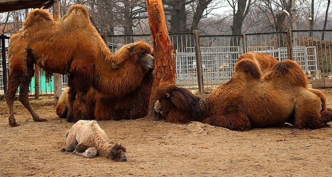 ВХарьковском зоопарке родился верблюжонок